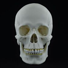 HUMAN FEMALE EUROPEAN ADULT SKULL REPLICA ( REAL SIZE )