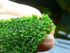 Live Beautiful Star Moss - Green shrimp freshwater aquarium A5 for fishes