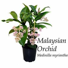 ~Malaysian Orchid~ Medinilla myriantha Exotic Malaysian Grapes Small Potd Plant