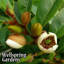Michelia figo Banana Shrub Live Plant foliage white magnolia like flower