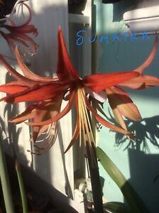 Hippeastrum Sumatra Colibri - 10 X Seeds