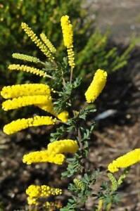 Acacia drummondii ssp drummondii - 30+ Seeds - Dwarf Wattle