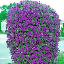 Beautiful Purple Wave Petunia Seeds (30+ seeds) Comb.S/H! SEE OUR STORE