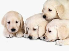 PUPPYS BABY GOLDEN RETRIEVER DOGS PETS ART PRINT POSTER PICTURE BMP148A