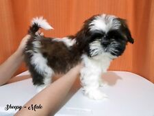 Male Shih Tzu Puppies