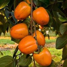 Diospyros KAKI 'Cioccolatino' - Kakibaum Winterharte veredelte Pflanze 110-140cm