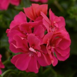 6 Trailing Ivy Leaf Geranium Rose Pink Hanging  Basket Patio Jumbo Plug Plants