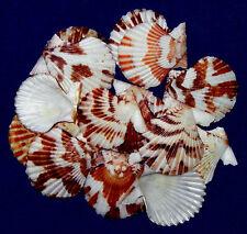 "Tranquebarica Pecten,Clam,Scallop,Cockle Craft Seashells 1""-1-1/2"" ~ (20 Pcs.)"