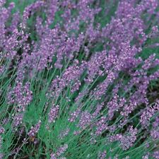 Herb Seeds - Lavender True - 400 Seeds