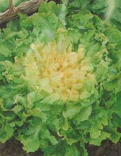 Broadleaf Batavian Endive Chicory Salad Vegetable Seeds Ochag