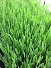 ORGANIC HARD RED WINTER WHEATGRASS SEEDS - NON GMO!   JUICING & PET GRASS - 1 LB