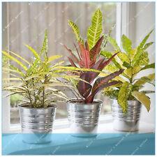 Real Leaf Croton Seeds Plants Codiaeum Variegatum Bonsai Ornamental 100pcs