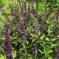 Red Holy Basil Seed Optimum Sanctum Few Pests Tulsa basil Tulsi Plant India Herb