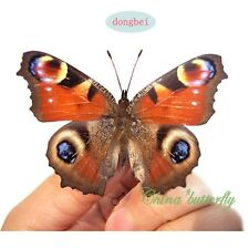 wholesale 250 pairs unmounted butterfly Nymphalidae Inachis io A1 A1-