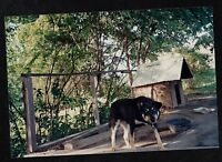Old Vintage Photograph Adorable Puppy Dog Standing By Dog House in Yard