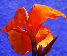 """""Canna Lily -  Dark Orange (canna x generalis) 5 Reliable Viable Seeds"