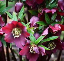 HELLEBORUS CODONE orientale ROSSO BORDEAUX Ceppo - 3 piante in vasi di 9cm