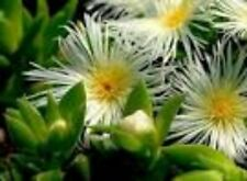 Sceletium Tortousum 4 Plants *Kanna* Zembrin ®