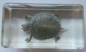TURTLE - RED EARED SLIDER - IN LUCITE BLOCK 7CM - FREE POST  shark jaw Taxidermy