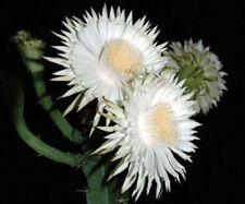Acanthocereus tetragonus FLORIDA NATIVE cereus tall cactus seed cacti 10 seeds