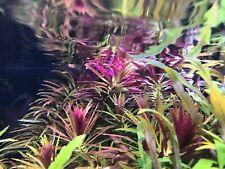 Limnophila aromatica submersed grow live aquarium plant
