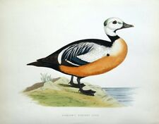 STELLER'S WESTERN DUCK, Beverley Morris original antique bird print 1855
