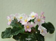 "African Violet Chimera 'Ray of Sunshine"" - Plant in Bloom!"