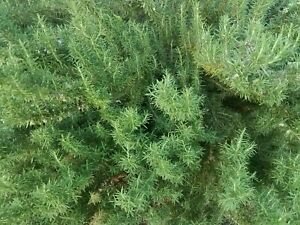 ROSEMARY ORGANIC FRESH GARDEN 15 CUTTINGS FROM BRANCHES! IMMUNE BOOSTER