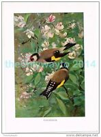 GOLDFINCH, BOOK ILLUSTRATION (PRINT), LYDEKKER, c1916