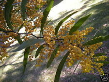 Zig Zag Wattle Seeds Drought Tolerant Evergreen Small Tree Light Frost - Unusual