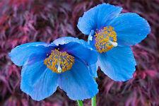 Poppy Seeds - HIMALAYAN BLUE POPPY - Tibetan Blue Poppy - Rare Opium - 50 Seeds