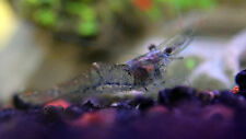 GHOST SHRIMP - EASY TO KEEP - TROPICAL FISH