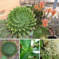 300pcs suculentas semillas mesa Aloe polyphylla rotación Aloe Vera Queen Seed