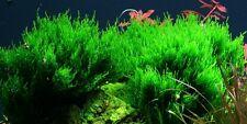 PIANTA PIANTE ACQUARIO  5X5 CM TAXIPHYLLUM SP. FLAME MOSS AQUARIUM LIVE PLANT !