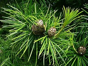 Schirmtanne Sciadopitys verticillata Pflanze 15-20cm japanische Tanne Rarität