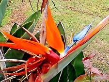 BIRD OF PARADISE seedlings X2   Strelitzia Reginae