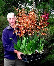 Oncidium Oncoste catatante no blooms LARGE plants Orchid 125mm pots