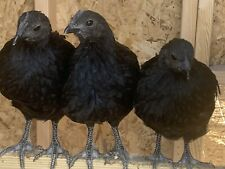 12 Ayam Cemani Fertile Hatching Eggs Npip Certified