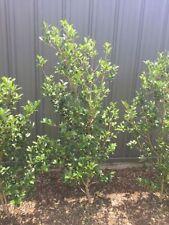 Camellia Bushes & Shrubs