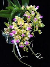 MOS. Orchid species- Vanda Aerides Houlletiana (flowering size)