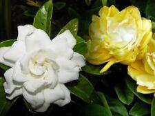 Gardenia Yellow White Fragrant Rare Live Plant Bush Bare Root 1-2 feet