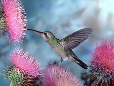 HUMMINGBIRD 8X10 GLOSSY PHOTO PICTURE
