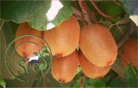 50Pcs Kiwi Fruit Seeds Edible Sweet Green Nutrition Plant Home Garden Bonsai