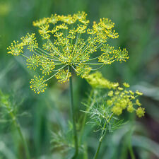 Dill Herb Seeds Usa Heirloom Plant Herbs Garden Anise Basil Thyme Green For 2021