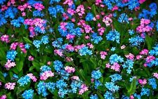 60+ BLUE AND ROSE FORGET-ME-NOT MIXED  FLOWER SEEDS / PERENNIAL