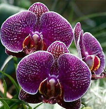 Dark Purple Butterfly Orchid  Seeds 80 Seeds --BUY 4 ITEMS FREE SHIPPING