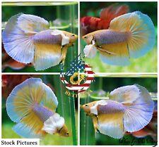 Live Betta Fish High Quality Halfmoon HM Male Yellow Pineapple Dumbo
