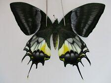 PA3052. Unmounted butterflies: Teinopalpus eminens. Central Vietnam.
