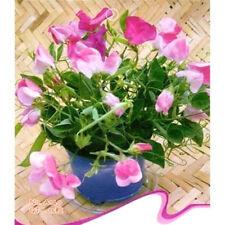 FD2487 Sweet-pea Seed Sweet Pea Flower Lathyrus Hot Seeds ~1 Pack 15 Seeds~