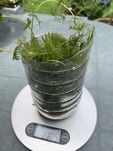 100g Of Mix Plants (Ceratophyllum demersum)Hornwort pond plant LIVE Oxygenator